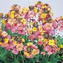 Erysimum Pastel Patchwork plants