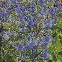 Eryngium Magical Blue Lagoon Plants