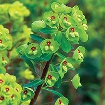 Euphorbia x martini Plant