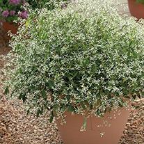 Euphorbia Glamour Plants