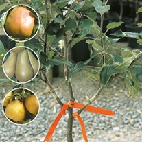 Family Pear fruit tree