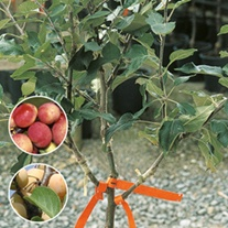 Family Plum fruit tree