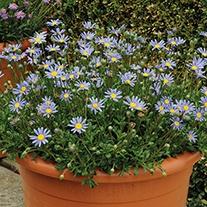 Felicia Blue Plants