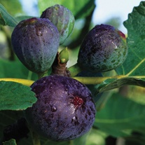 Fig Brown Turkey Fruit Plant