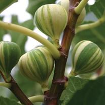 Fig Panachee