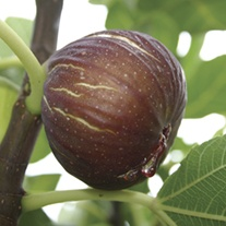 Fig Madeleine fruit plant