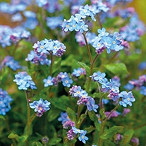 Forget-Me-Not Mon Amie Blue Plants