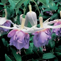 Fuchsia (Giant Trailing) Quasar Flower Plants