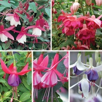 Fuchsia (Hardy Bush Type) Plant Collection