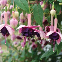 Fuchsia Velvet Crush Plants