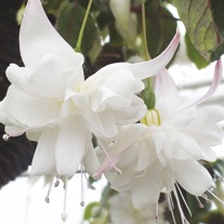 Fuchsia (Giant Trailing) White King Plants