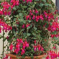Fuchsia (Climbing) Pink Fizz Flower Plants