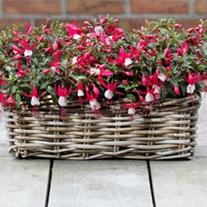 Fuchsia Bella Evita plants