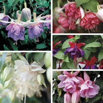 Fuchsia (Giant Trailing) Plant Collection