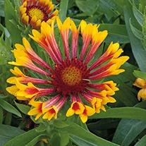 Gaillardia Fanfare Plants