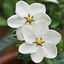 Gardenia Kleim's Hardy Plants