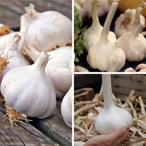 Spring Planting Garlic Collection
