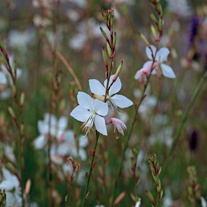 Gaura lindhiemeri The Bride Plants