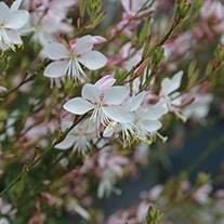 Gaura Flamingo White Plants