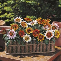 Gazania Daybreak Tiger Mixed F1 Flower Plants