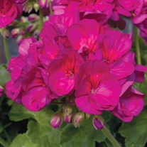 Pelargonium Designer Flower Plant Collection