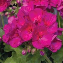 Geranium Designer Series Violet Plants