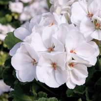 Pelargonium Designer White Flower Plants