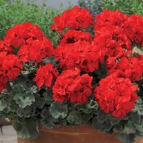 Geranium Designer Series Scarlet Plants