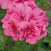 Trailing Pelargonium Precision Rose Flower Plants