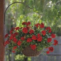 Trailing Pelargonium Precision Dark Red Flower Plants