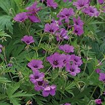 Geranium Ann Folkard Plants