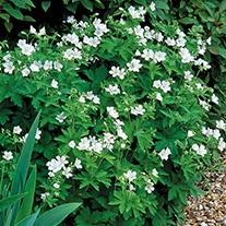 Geranium sylvaticum album Plant