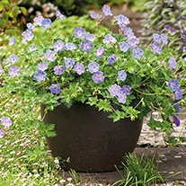 Geranium Azure Rush Flower Plants