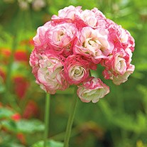 Geranium Apple Blossom Rosebud Plants