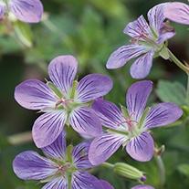 Geranium Fay Anna Plants