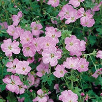 Geranium Mavis Simpson Flower Plant