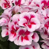Pelargonium Sunrise Smokey Eye White Plants
