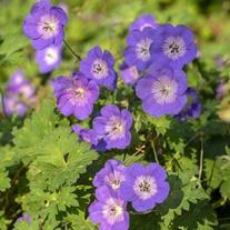 Geranium Rozanne Flower Plant