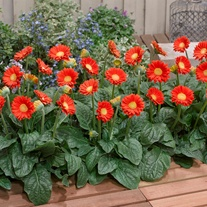Gerbera Garvinea Sweet Glow Flower Plants