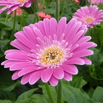 Gerbera Garvinea Sweet Surprise Flower Plants