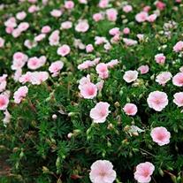 Geranium sanguineum var. striatum Flower Plants