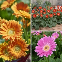Gerbera Garvinea Flower Plant Collection