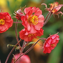 Geum Flames of Passion Plants
