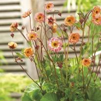 Geum Mai Tai Plants