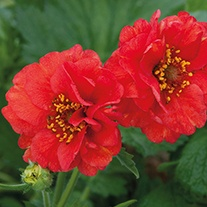 Geum Blazing Sunset Plants