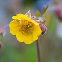 Geum Primrose Cottage Flower Plants