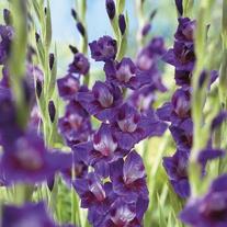 Gladioli Velvet Eyes Flower Corms