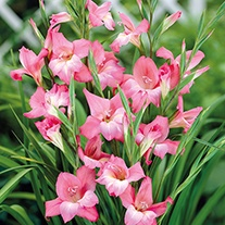 Gladiolus Charming Beauty Corms