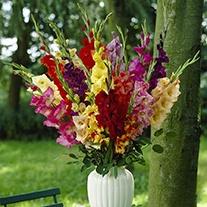 Gladioli Large Flowered Mixed