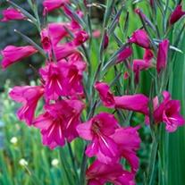 Gladiolus byzantinus Plants